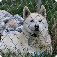 Adopt A Pet :: Nikko - Morehead, KY