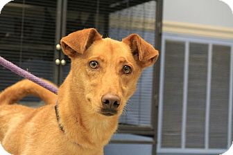 Basenji Mix Dog for adoption in Martinsville, Indiana - Sandy