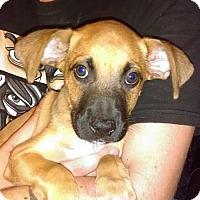 Adopt A Pet :: arcanine - PEORIA, AZ