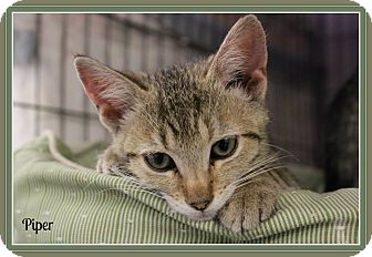 Domestic Shorthair Kitten for adoption in New Richmond,, Wisconsin - Piper