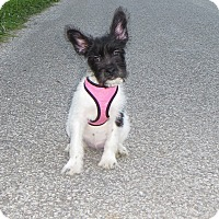 Adopt A Pet :: Lilly - New Middletown, OH