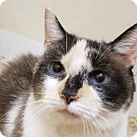 Calico Cat for adoption in Trevose, Pennsylvania - Vivian Leigh