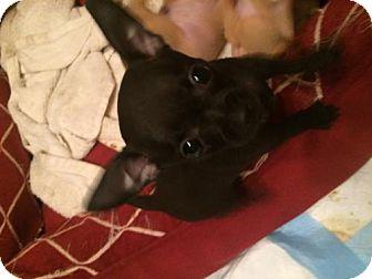 Chihuahua Puppy for adoption in Davie, Florida - Mugui