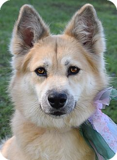 Chow Chow/Spitz (Unknown Type, Medium) Mix Dog for adoption in Denver, Colorado - Sofie