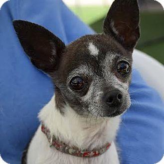 Chihuahua Mix Dog for adoption in Denver, Colorado - Tiny