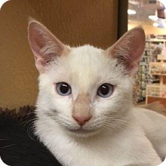 Siamese Cat for adoption in Fairfax, Virginia - Meo