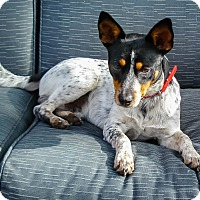 Adopt A Pet :: Chip - Savannah, GA