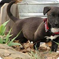 Adopt A Pet :: Raz - greenville, SC