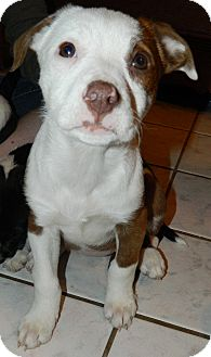 American Pit Bull Terrier Puppy for adoption in Ryland Heights, Kentucky - Callie