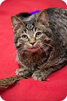 Domestic Shorthair Cat for adoption in Chicago, Illinois - Jelly Bean