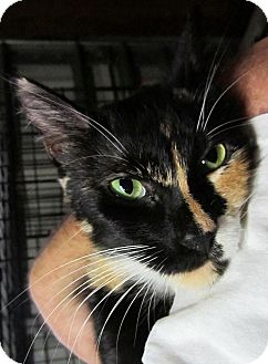 Domestic Shorthair Cat for adoption in Seminole, Florida - Sassy