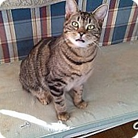 Domestic Shorthair Cat for adoption in Woodland Hills, California - Bobby