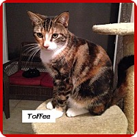 Adopt A Pet :: Toffee - Miami, FL