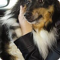 Adopt A Pet :: Shadow - Pierrefonds, QC