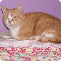 Domestic Shorthair Cat for adoption in New Bedford, Massachusetts - Mr. Man