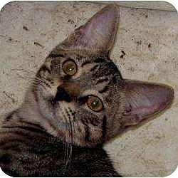 Photo 2 - Domestic Shorthair Cat for adoption in Milford, Ohio - Bitsy