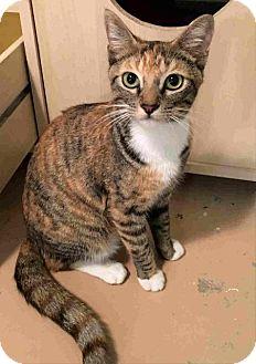 Domestic Shorthair Cat for adoption in Menifee, California - Missy