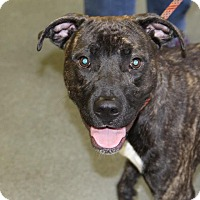 Pit Bull Terrier Mix Dog for adoption in Greensboro, North Carolina - Legend