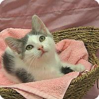 Domestic Shorthair Kitten for adoption in Redwood Falls, Minnesota - Mira