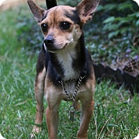 Chihuahua Mix Dog for adoption in Alpharetta, Georgia - Paulie