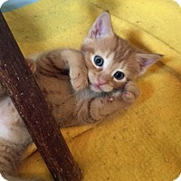 Adopt A Pet :: Mowgli - Troy, MI