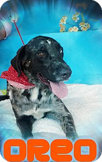 Great Dane/Catahoula Leopard Dog Mix Dog for adoption in Odessa, Texas - Oreo