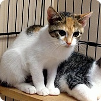 Calico Kitten for adoption in East Brunswick, New Jersey - Leah