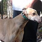 Adopt A Pet :: KB's Rocket Dog