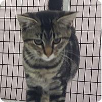 Adopt A Pet :: Kit Kat - Maryville, IL