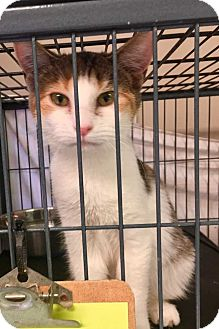 Domestic Shorthair Kitten for adoption in Dickson, Tennessee - Sage