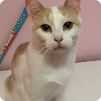 Adopt A Pet :: Cheddar - THORNHILL, ON