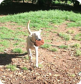 Labrador Retriever Mix Dog for adoption in Acworth, Georgia - Ranger