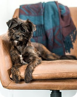 Terrier (Unknown Type, Small)/Yorkie, Yorkshire Terrier Mix Dog for adoption in Fort Atkinson, Wisconsin - Lucy 2