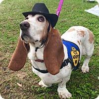 Adopt A Pet :: Clover - Houston, TX