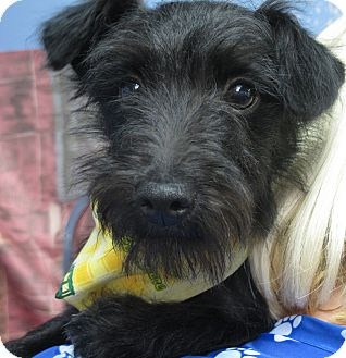 Schnauzer And Scottish Terrier Inky | Adopted ...