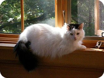 Domestic Mediumhair Cat for adoption in Huntsville, Ontario - Belle - So loving!