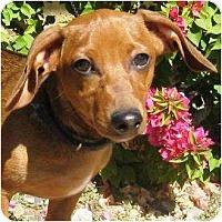 Adopt A Pet :: Finn - Gilbert, AZ