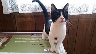 Domestic Shorthair Cat for adoption in Jefferson, Ohio - Dexter