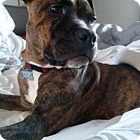 Adopt A Pet :: Bruno - Adoption Pending - West Allis, WI
