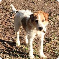 Adopt A Pet :: Deuce in Laredo, TX ADOPT PEND - Austin, TX