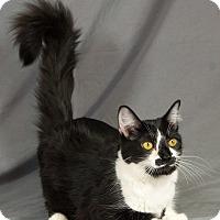 Adopt A Pet :: Targaryen - Edmond, OK
