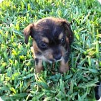 Adopt A Pet :: Kulfie - Homestead, FL