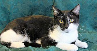 Domestic Shorthair Cat for adoption in Greensboro, North Carolina - Nikki