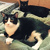 Domestic Shorthair Cat for adoption in Wheaton, Illinois - Billie Joe Armstrong & Lady Gaga