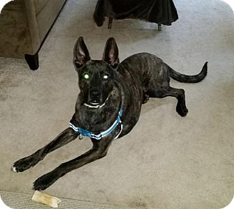 German Shepherd Dog/American Staffordshire Terrier Mix Dog for adoption in Lawrenceville, New Jersey - Shadow (FOSTER)