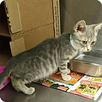 Domestic Shorthair Kitten for adoption in Powellsville, North Carolina - SHELBY