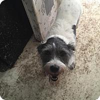 Cairn Terrier Mix Dog for adoption in Alvarado, Texas - Clifton