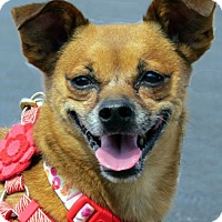 Chihuahua Mix Dog for adoption in North Las Vegas, Nevada - Grizzley
