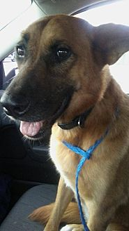 Shepherd (Unknown Type) Mix Dog for adoption in Peyton, Colorado - Chewie