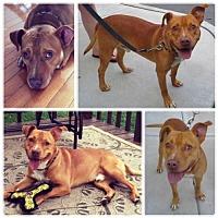 American Pit Bull Terrier Mix Dog for adoption in Fredericksburg, Virginia - Baloo- Courtesy Listing